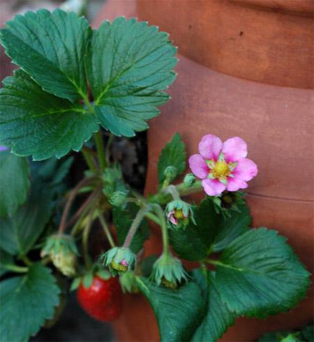 You grow girl first strawberry of the season pinklipstickg mightylinksfo Gallery