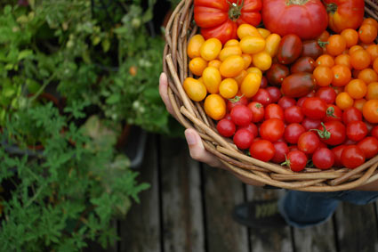 Your Questions Answered: Black Bottomed Tomatoes