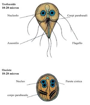 giardia trofozoite