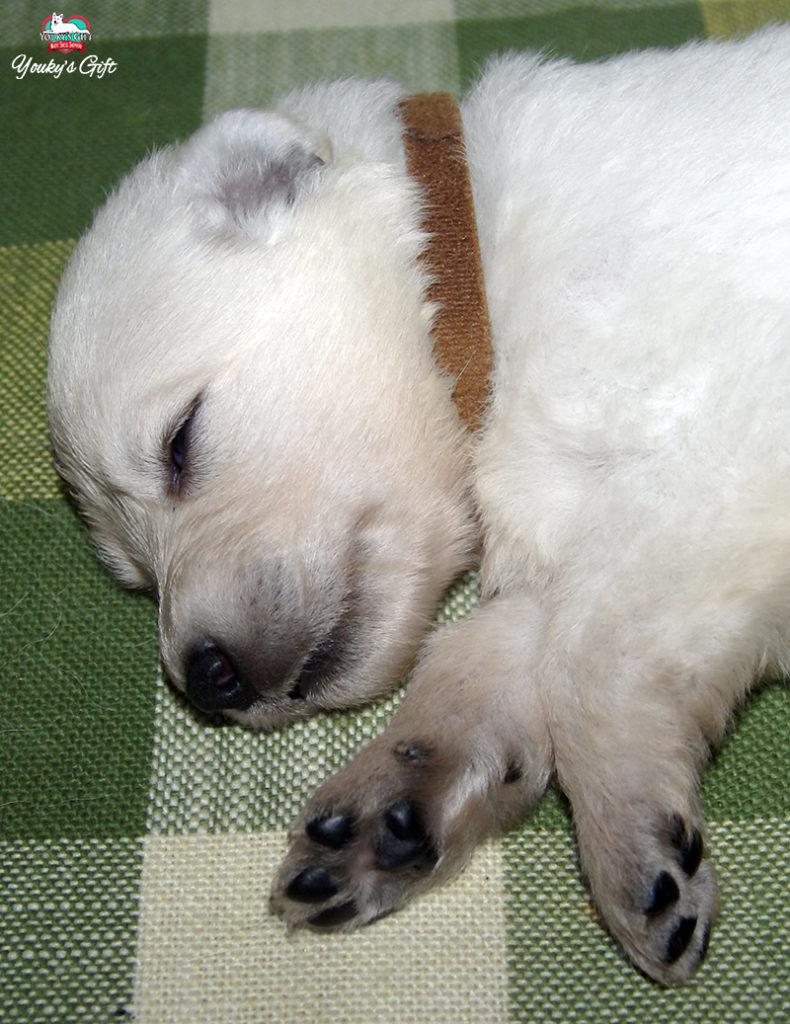 cuccioli pastore svizzero youky's gift cucciolata E due settimane