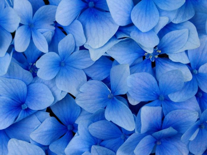 blue flowers for decoration
