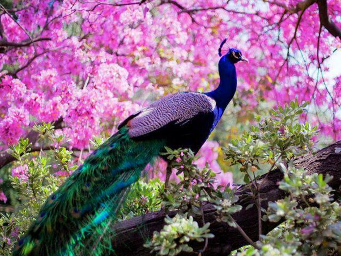 stunning peacock wallpapers free