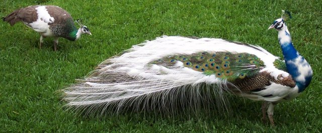 stunning white peacock pictures