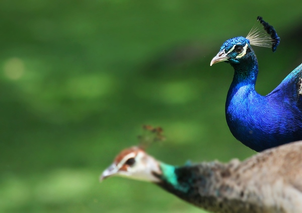 stunning peacock wallpapers hd