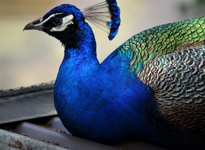 peacock wallpapers for iphone