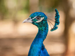 beautiful peacock wallpapers for windows 7