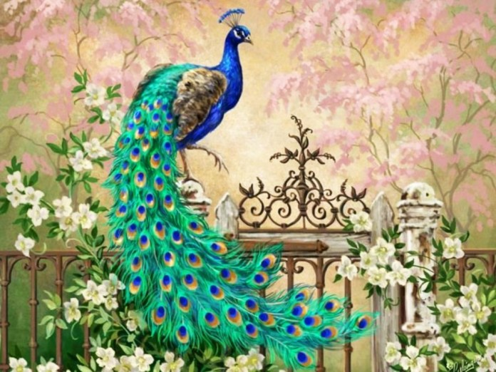 peacock pictures for drawing