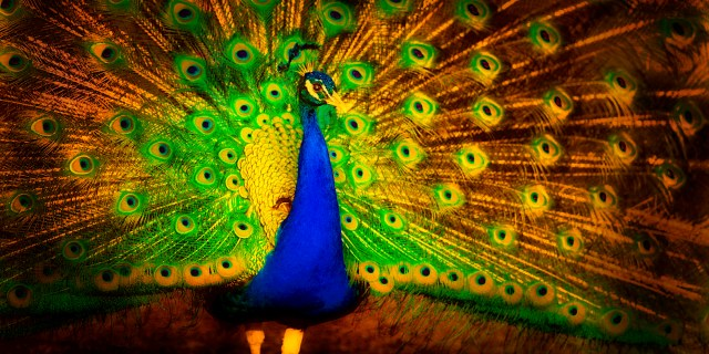 golden peacock good evening wallpapers free