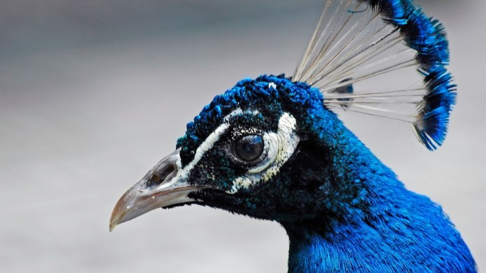beautiful peacock wallpapers free