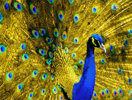 beautiful golden peacock wallpapers