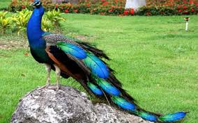 amazing peacock wallpapers free hd pics