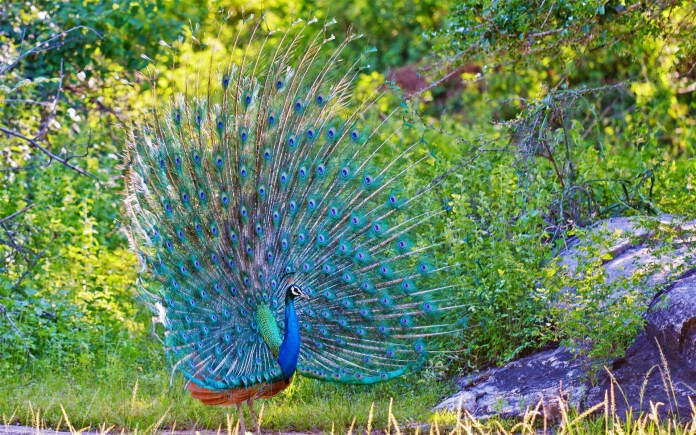 beautiful peacock dancing images hd collection