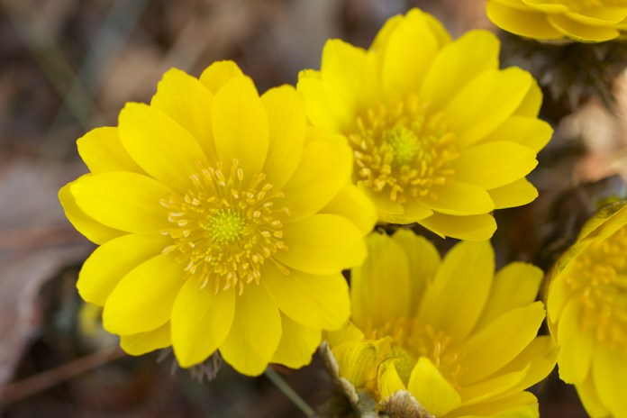 Top 30 beautiful yellow flowers names list with pictures yellow flower names list mightylinksfo