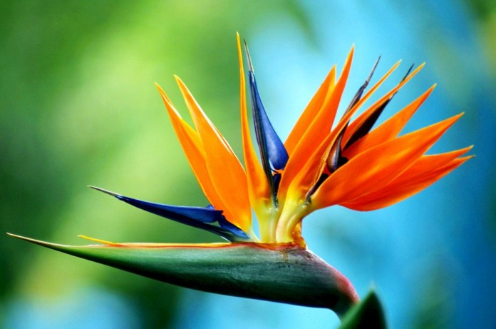Bird of paradise flower images beautiful flowers pretty flowers beautiful flower prettiest flowers