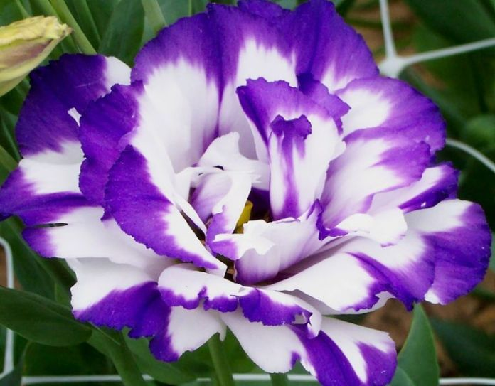 lisianthus flower images Beautiful flowers Pretty flowers HD wallpapers