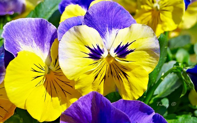 Pansy Lovers
