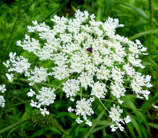 queen annes lace purple flower Prettiest flowers Beautiful Flowers