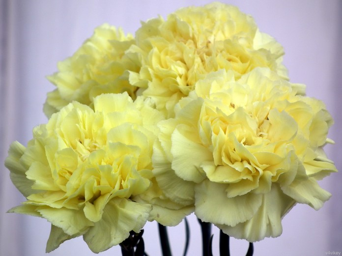 Top 30 beautiful yellow flowers names list with pictures carnation is also known as the flowers of god these yellow flowers look beautiful when you gift someone or decorate your home mightylinksfo
