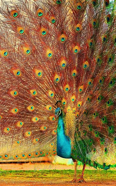 Multi Color Peacock images