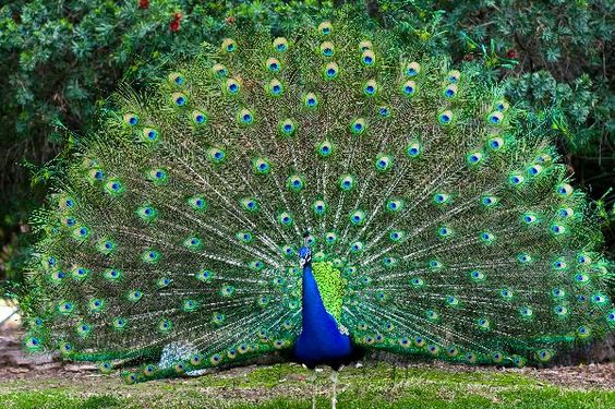 colorful peacock wallpapers free