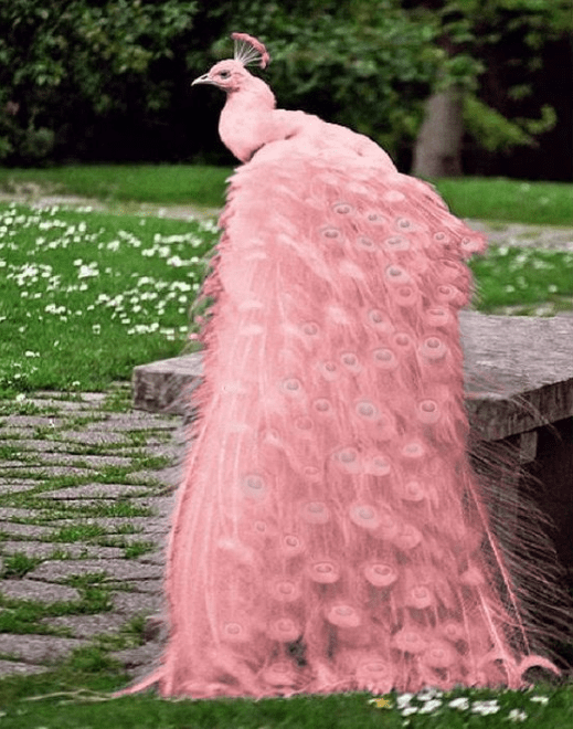 Beautiful Pink Peacock Wallpapers HD