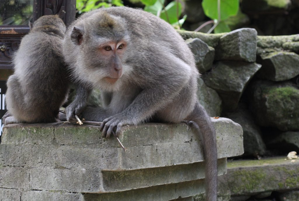 Crab eating macaque ready to attack