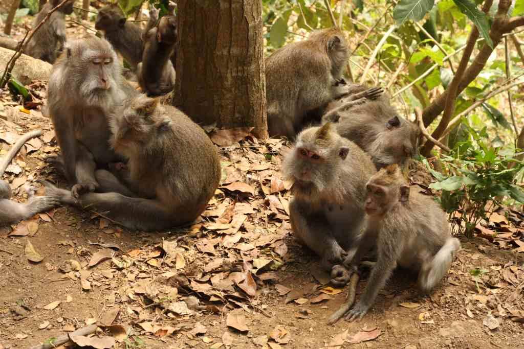 Family of monkeys at Ubud Monkey Forest