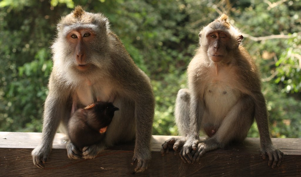 Two monkeys staring at the camera