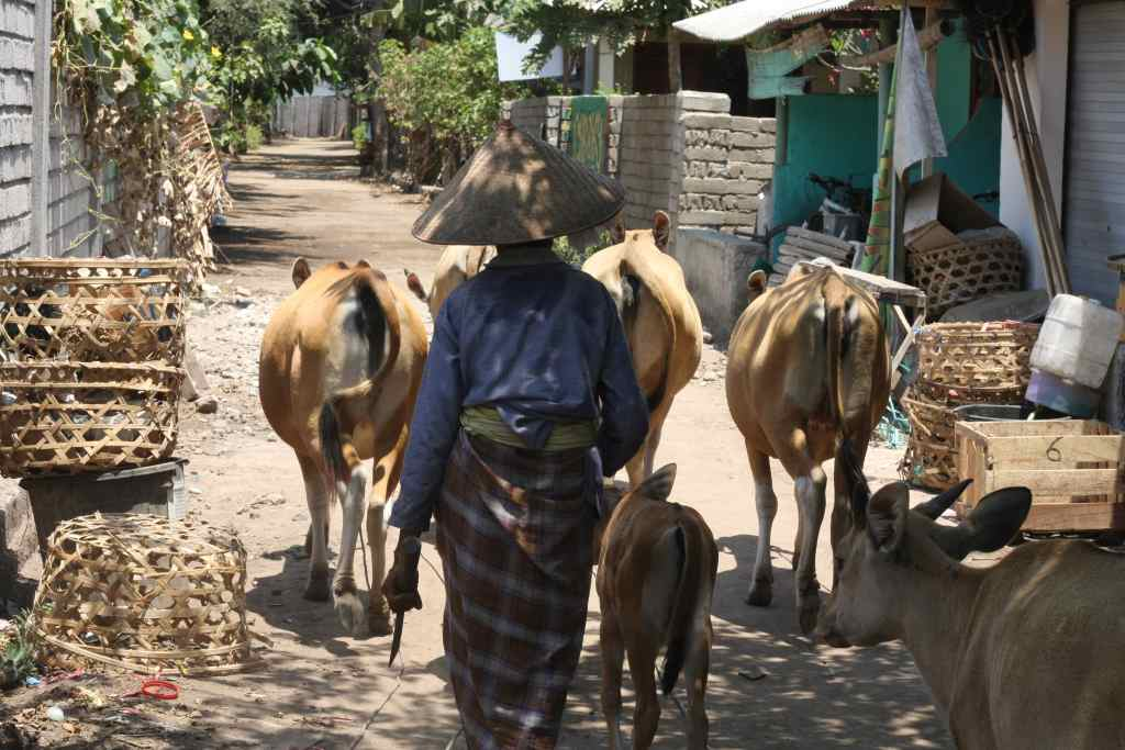 Indonesian woman walking cows on dirt road