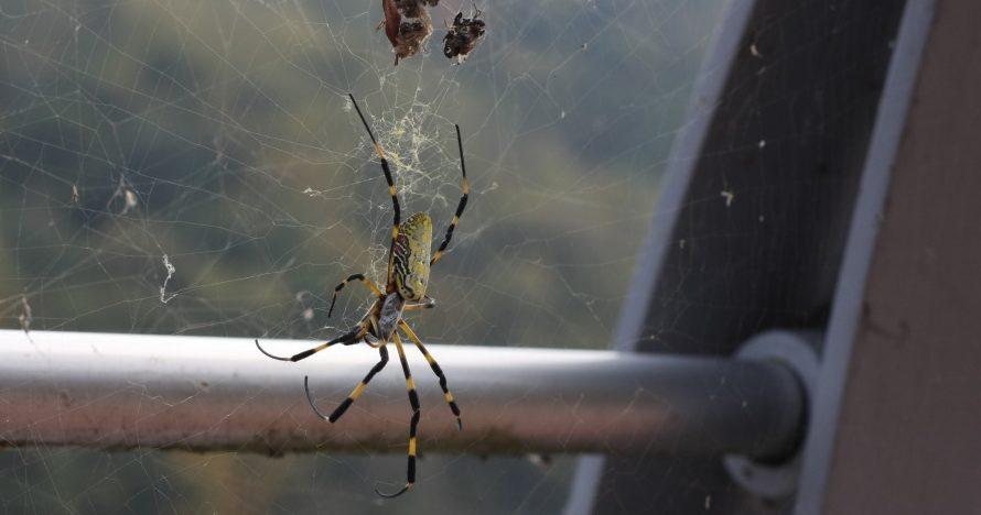 Korean spider
