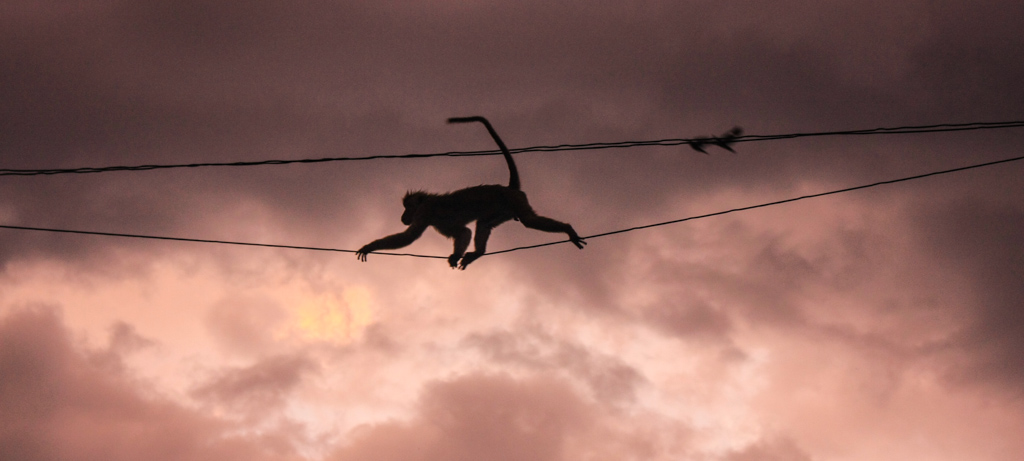 Monkeys climbing wire