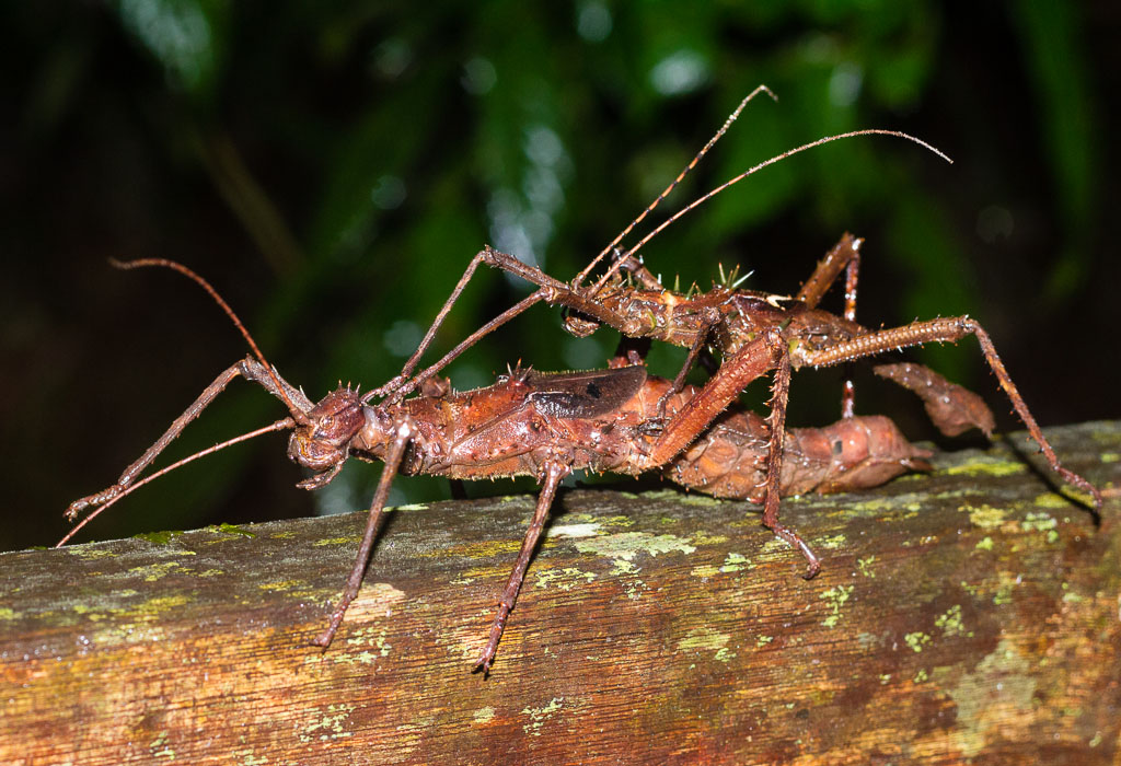 Stick insects mating