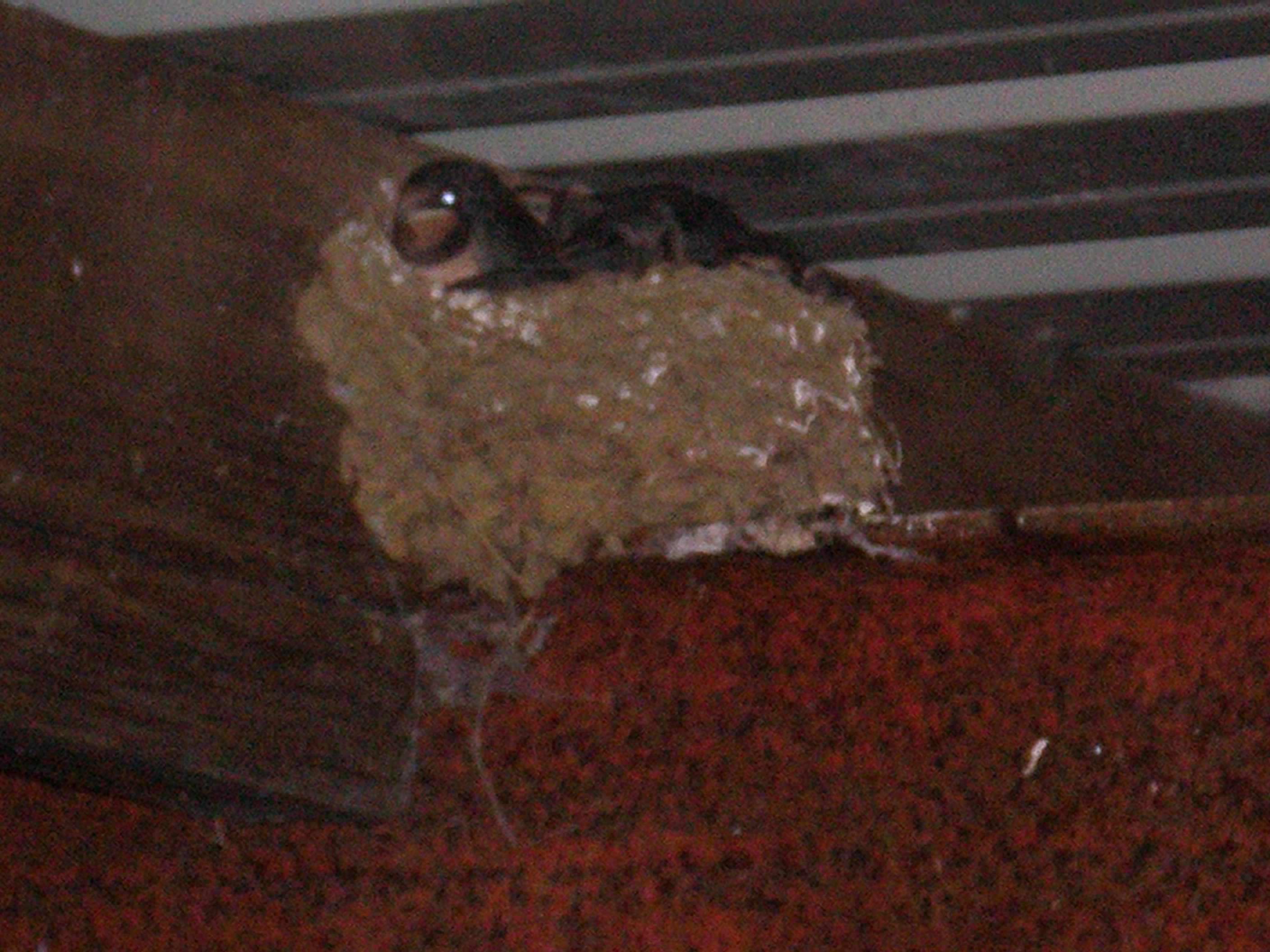 swallow babes about to fledge