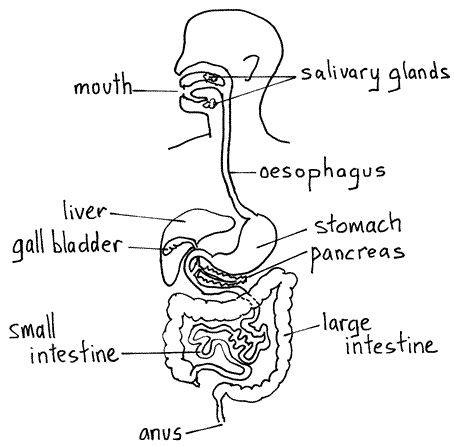 Basic Digestive System Diagram - Wiring Library •