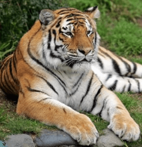 A man was mauled by a 400-pound tiger at the Bronx Zoo on Friday after he leaped from a moving monorail train and plummeted over a protective fence