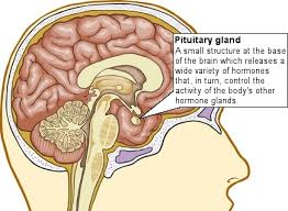 pituatary-gland