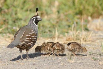 Scalia died while hunting quails - mother quail caring for her chicks\