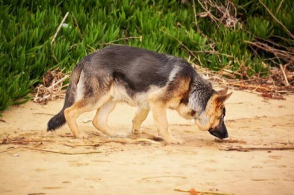 Different types of German Shepherd dogs