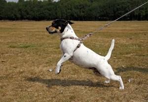pullingdog