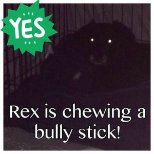 Dogs will not engage in chewing behavior unless they're feeling comfortable enough in their surroundings. HUGE STEP for Rex!