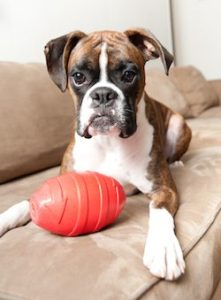 Boxer puppy with a toy