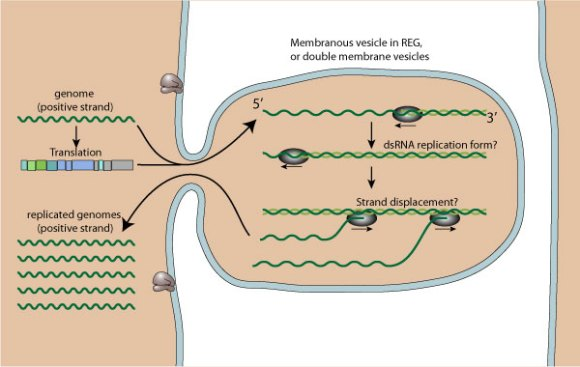 +RNA-replication
