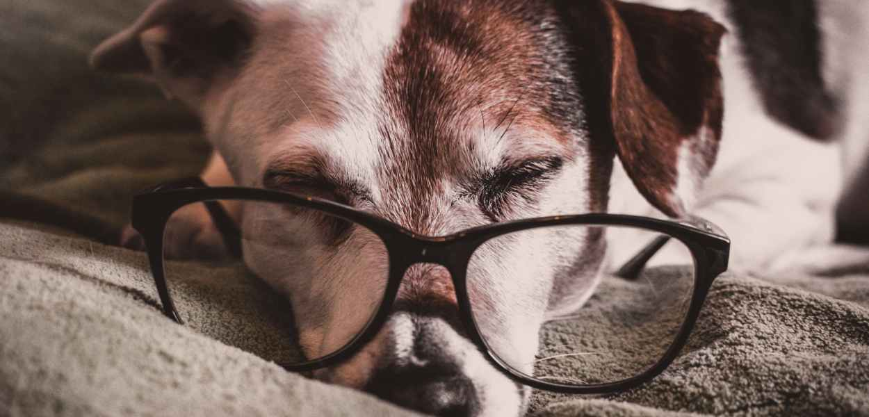 white and brown dachshund with black framed eyeglasses