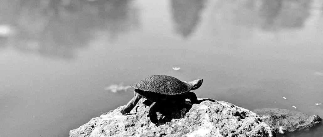 a tortoise on a rock