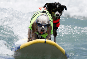 surf-dogs