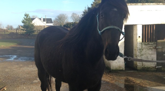 Thoroughbred mare (SOLD)