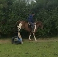 Foxhall foursox a skewbald 13'2 pony landing securely after jumping a cross country fence