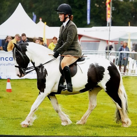 Piebald mare named ruby being shown under saddle