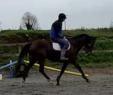 Bay horse trotting in the school his name is Barnaboy Eamon