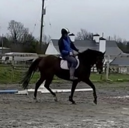 Dark bay horse Barnaboy Eamon trotting in the school